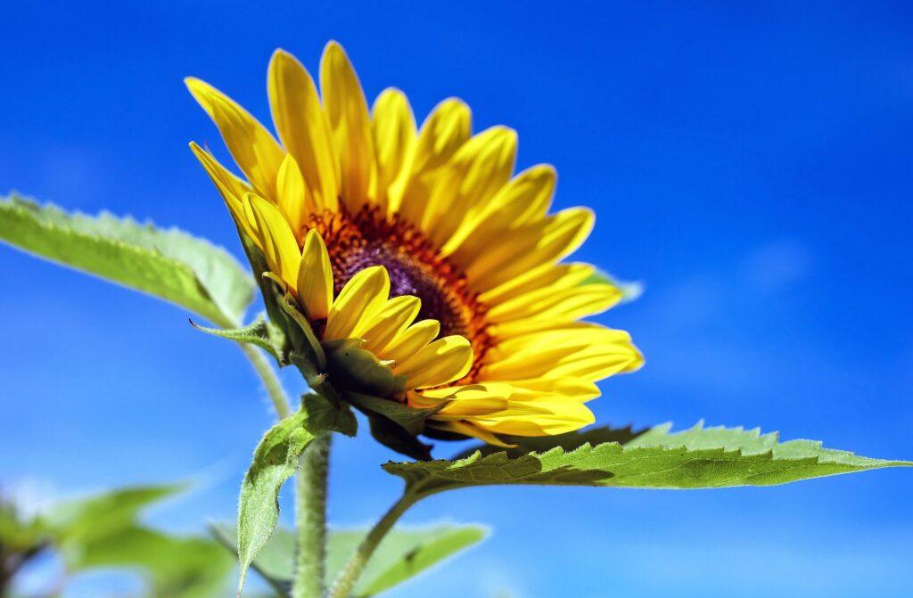 seelische Gesundheit_sunflower-1536088_1920_pixabay